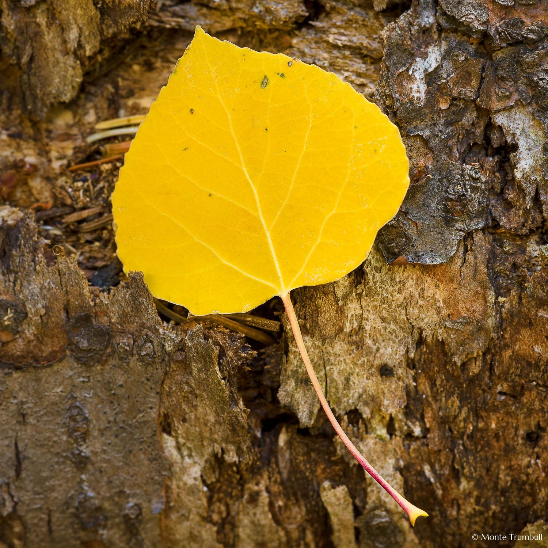 MT-20080928-101929-0008-Edit-Colorado-golden-aspen-leaf-bark.jpg