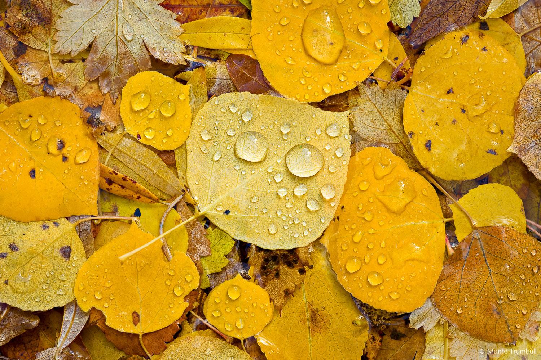MT-20081005-150323-0126-Edit-Colorado-golden-aspen-leaves-water-drops.jpg