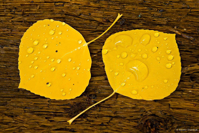 MT-20081005-150912-0130-Edit-Colorado-golden-aspen-leaves-bark-water-drops.jpg