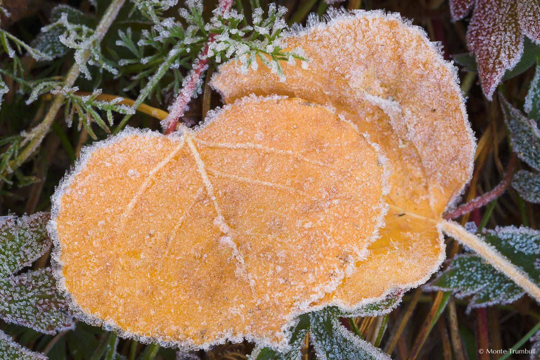 MT-20081008-105331-0068-Colorado-golden-aspen-leaves-frost.jpg