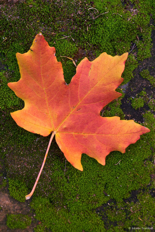MT-20101106-103321-Utah-Zion-National-Park-red-maple-tree-leaf.jpg