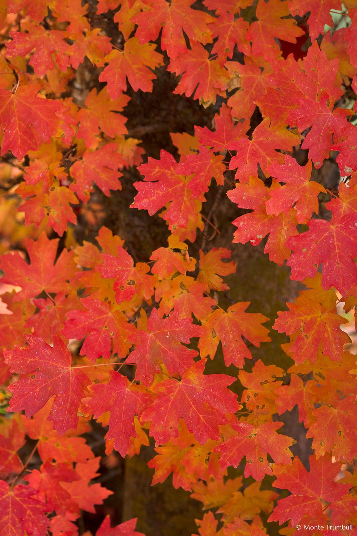 MT-20101106-155956-Utah-Zion-National-Park-red-maple-tree-leaves.jpg