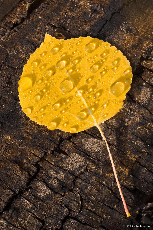 MT-20111005-100000-0074-Colorado-golden-aspen-leaf-bark-water-drops.jpg