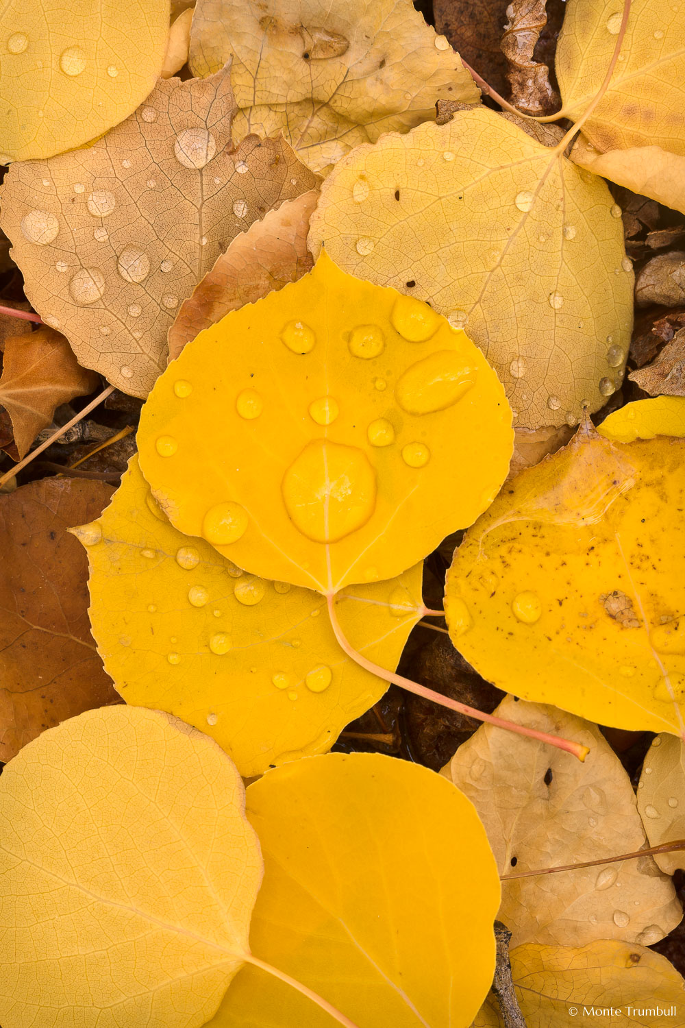 MT-20111005-122831-0101-Colorado-golden-aspen-leaves-water-drops.jpg
