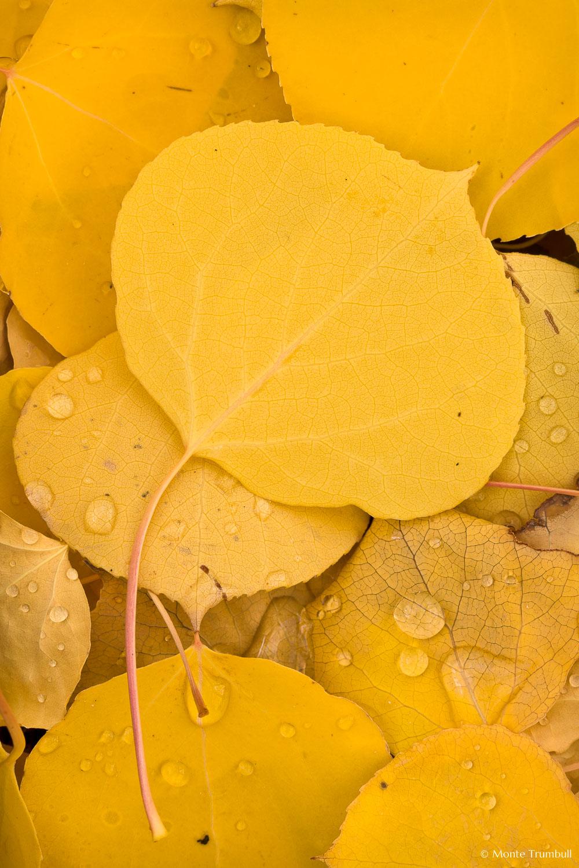 MT-20111005-123633-0104-Colorado-golden-aspen-leaves-water-drops.jpg