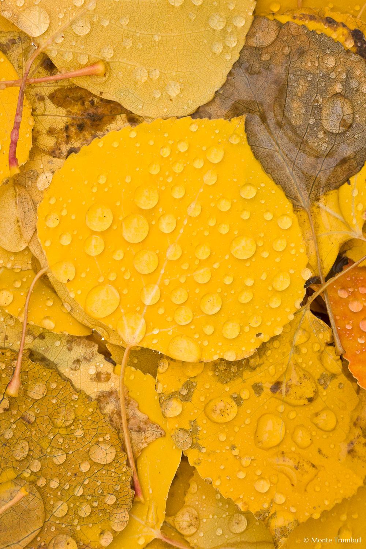 MT-20111006-080321-0002-Colorado-golden-aspen-leaves-water-drops.jpg
