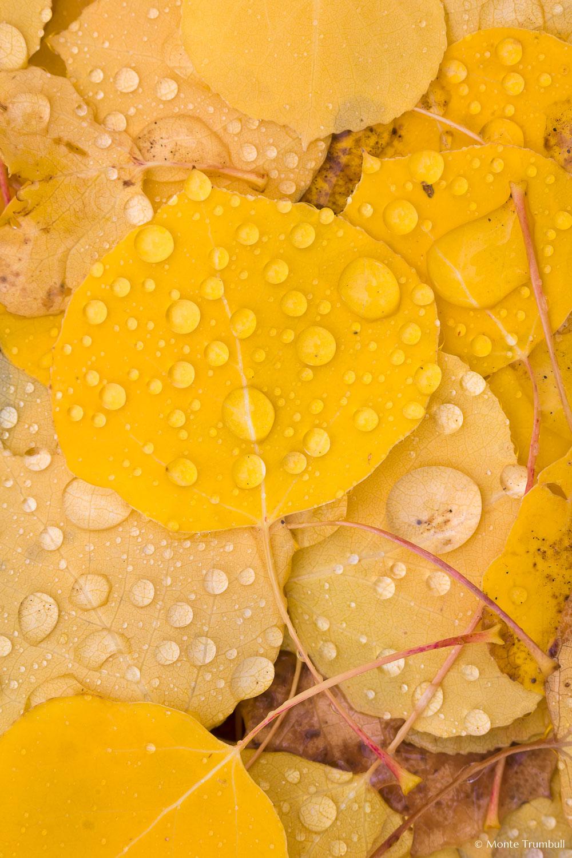 MT-20111006-095850-0015-Colorado-golden-aspen-leaves-water-drops.jpg