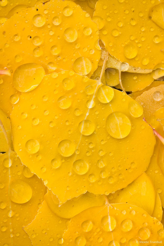 MT-20111006-101103-0019-Colorado-golden-aspen-leaves-water-drops.jpg