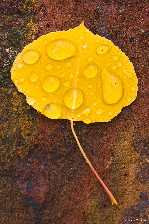 MT-20111006-101405-0001-Colorado-golden-aspen-leaf-red-rock-water-drops.jpg