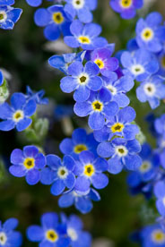 MT-20080714-072243-0078-Edit-Colorado-alpine-forget-me-nots.jpg
