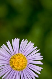 MT-20080716-093336-0036-Edit-Colorado-violet-aster.jpg