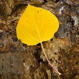 MT-20080928-101929-0008-Edit-Colorado-golden-aspen-leaf-bark.jpg