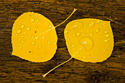 MT-20081005-150912-0130-Edit-Colorado-golden-aspen-leaves-bark-water-drops.jpg