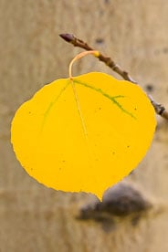 MT-20100921-100246-0025-Colorado-golden-aspen-leaf-hanging.jpg