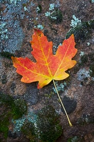 MT-20101105-100855-Utah-Zion-National-Park-maple-leaf-on-rock.jpg