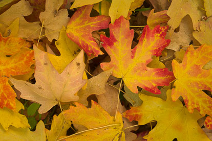 MT-20101105-153447-Utah-Zion-National-Park-maple-leaves-on-ground.jpg