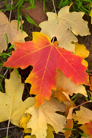MT-20101106-102435-Utah-Zion-National-Park-red-maple-tree-leaf.jpg