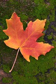 MT-20101106-103321-Utah-Zion-National-Park-red-maple-tree-leaf.jpg
