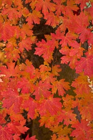 MT-20101106-155956-Utah-Zion-National-Park-red-maple-tree-leaves.jpg