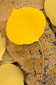 MT-20111004-140343-0060-Colorado-golden-aspen-leaves-aspen-bark.jpg