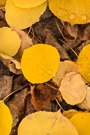MT-20111005-123031-0102-Colorado-golden-aspen-leaves-water-drops.jpg