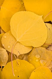 MT-20111005-123633-0104-Colorado-golden-aspen-leaves-water-drops.jpg