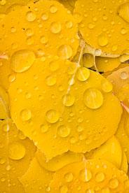 MT-20111006-101103-0019-Colorado-golden-aspen-leaves-water-drops.jpg