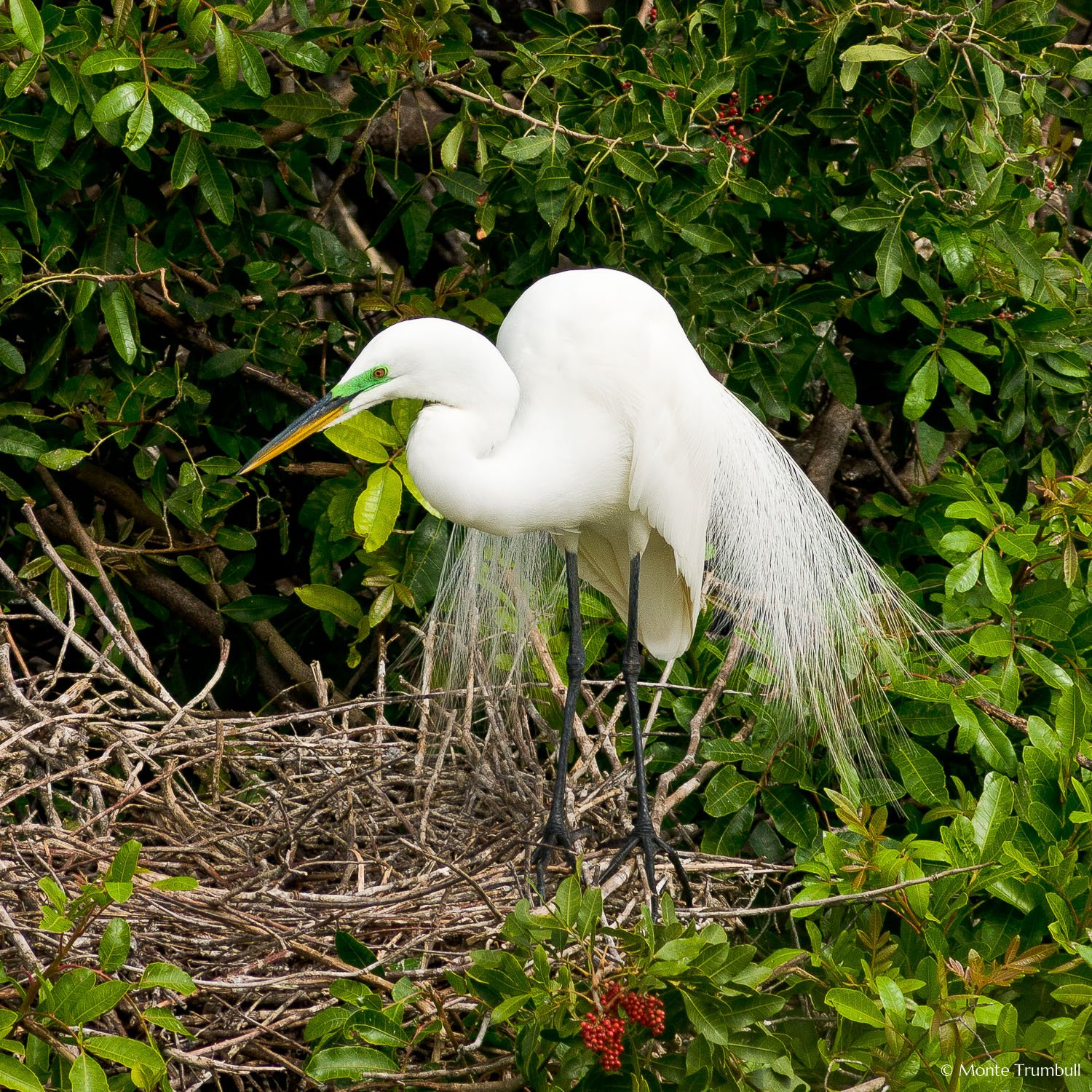 MT-20060303-094748-0182-Florida-Venice-Rookery-great-egret-plummage.jpg