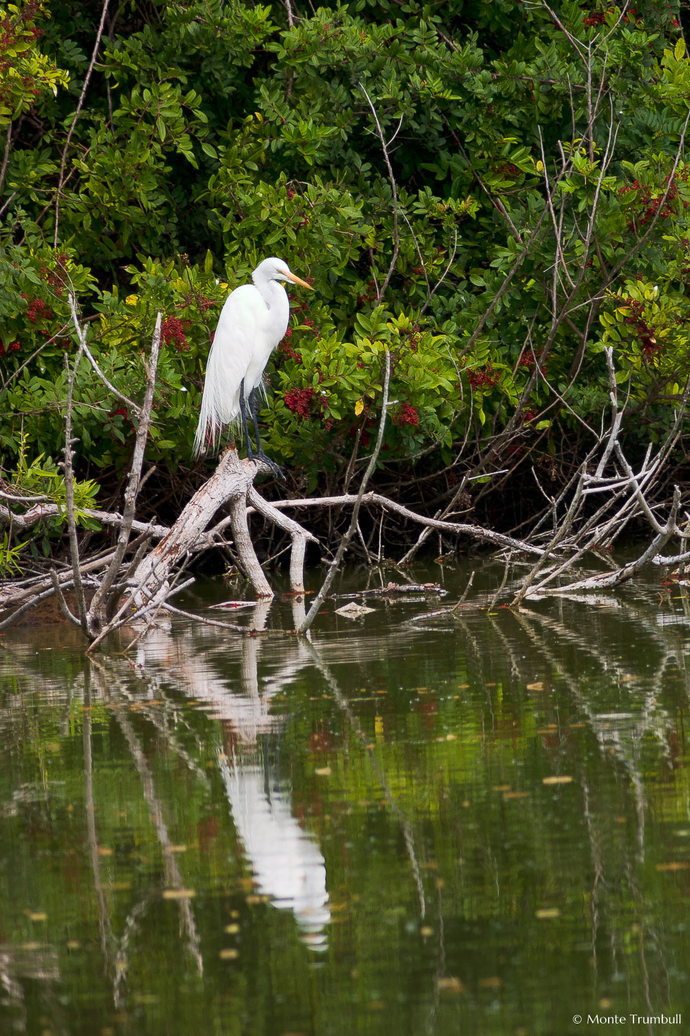 MT-20060303-095618-0186-Florida-Venice-Rookery-great-egret-reflection.jpg