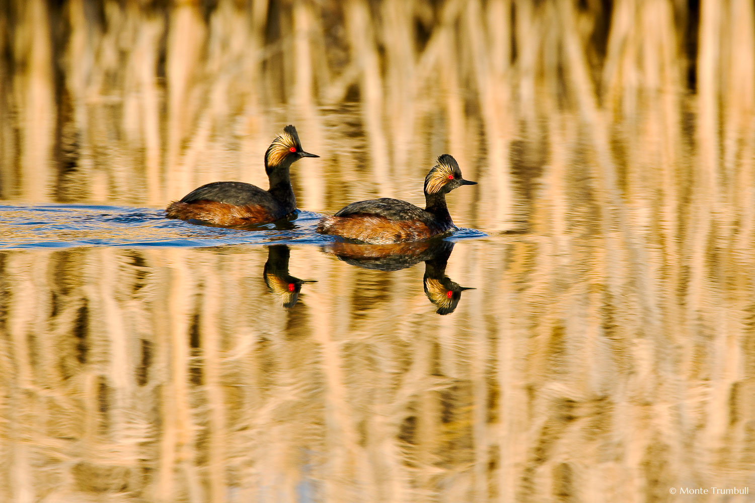 MT-20080424-070607-0019-Edit-Colorado-Monte-Vista-National-Wildlife-Refugee-eared-greebes-swimming.jpg