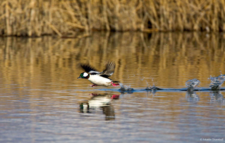 MT-20080424-075306-0077-Edit-Colorado-Monte-Vista-National-Wildlife-Refugee-bufflehead-duck-running.jpg