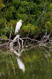 MT-20060303-095618-0186-Florida-Venice-Rookery-great-egret-reflection.jpg