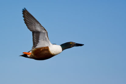 MT-20060408-091557-0036-Iowa-Drake-Shoveler-in-flight.jpg