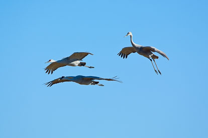 MT-20071101-095527-0001-Colorado-Monte-Vista-National-Wildlife-Refugee-sandhill-cranes-in-flight.jpg