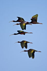 MT-20080424-073640-0056-Edit-Colorado-Monte-Vista-National-Wildlife-Refugee-white-faced-ibis-flying.jpg
