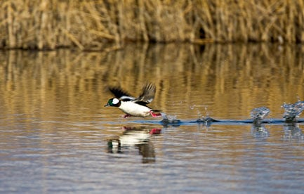 MT-20080424-075306-0077-Edit-Colorado-Monte-Vista-National-Wildlife-Refugee-bufflehead-duck-running.jpg