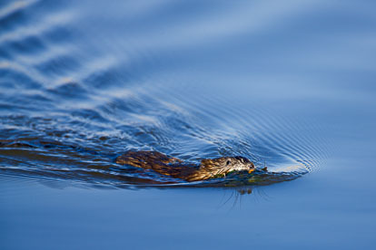MT-20080424-075735-0102-Edit-Colorado-Monte-Vista-National-Wildlife-Refugee-muscrat-swimming.jpg