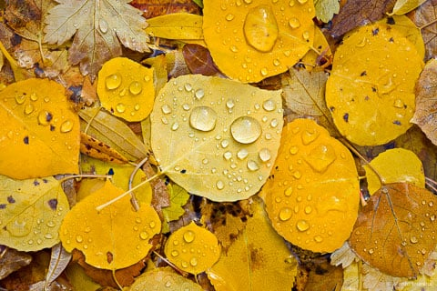 Water droplets from an afternoon fall rain shower cling to a collection of fallen golden aspen leaves outside of Ouray, Colorado.