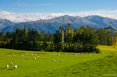 Sheep graze in a bright green valley on the South Island of New Zealand.