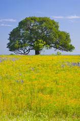 A sprawling oak tree stands in a golden field of wildflowers outside of Fredericksburg, Texas.
