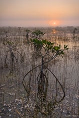 The sun rises behind a layer of ground fog hanging over a slough filled with red mangroves in Everglades National Park, Florida.