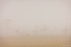 Scraggly bald cypress trees are just visible through a dense fog in Everglades National Park, Florida.