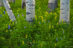 Early spring wildflowers surround the trunks of a grove of aspens along Kebler Pass Road near Crested Butte, Colorado.