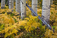 The trunks of a grove of aspen trees are surrounded by gold leaved ferns along Kebler Pass Road outside of Crested Butte, Colorado.