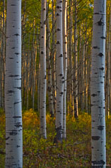 Late day light streams through an aspen grove illuminating the gold and green undergrowth outside of Crested Butte, Colorado.