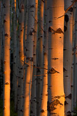 Orange sunset light illuminates the trunks in an aspen grove outside of Crested Butte, Colorado.