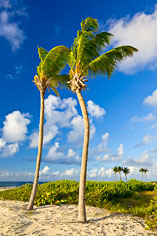 Palm trees sway in the gentle ocean breeze off Merrywing Bay in Anguilla, BWI.