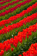 A hillside covered in rows of red and orange tulips in Skagit Valley, Washington.