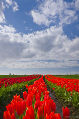 Orange and red tulips disappear into the distance in Skagit Valley, Washington.