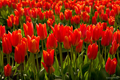 A field of bright orange tulip blossoms in Skagit Valley, Washington.